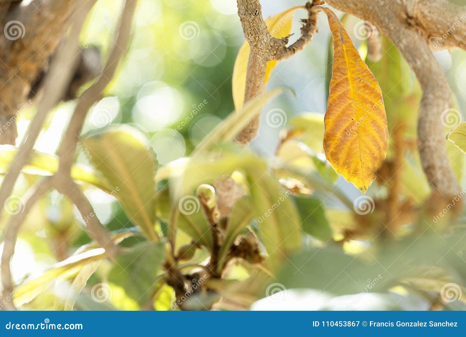 Mispelsidor övervintrar in frukterna är födda
