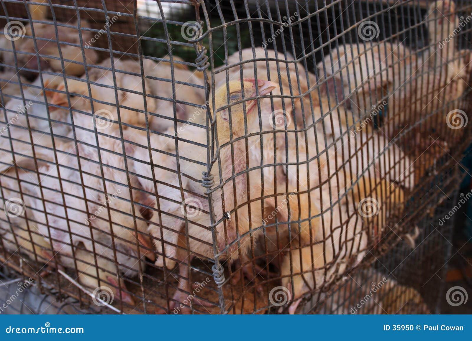 Missbrauchte Hühner
