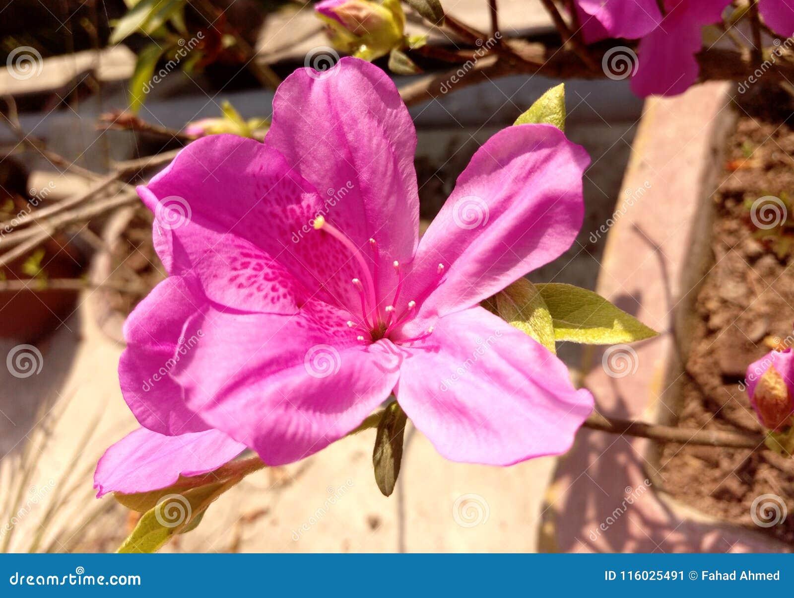 Misser pink
