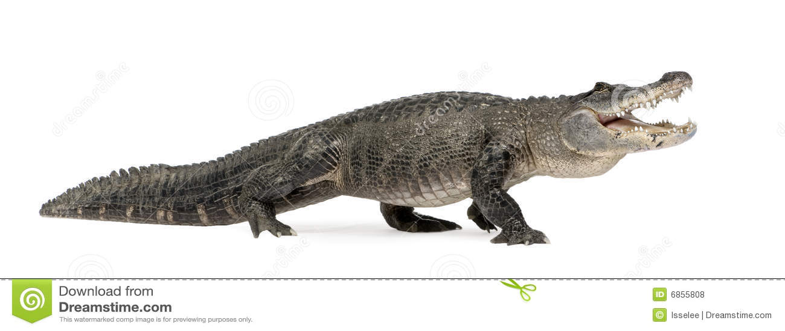 Mississippiensis американца аллигатора