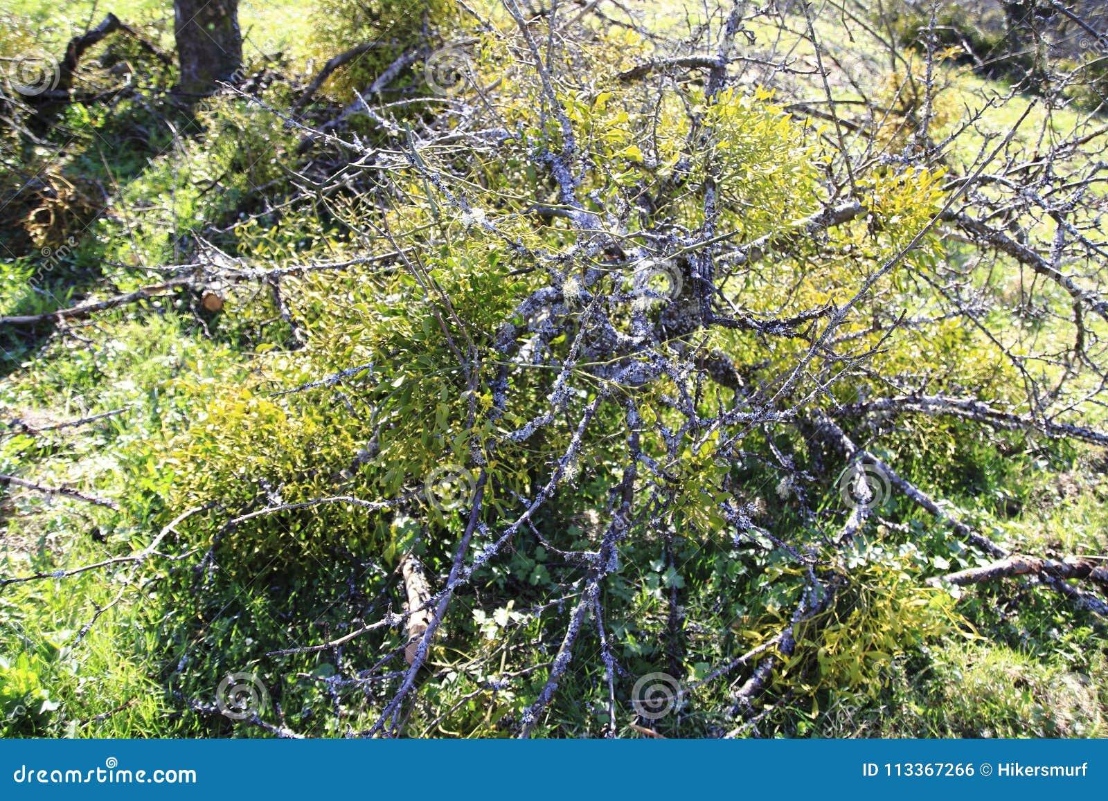 Mistletoes Sprigs Of Mistletoe Parasite In Apple Tree In Winter