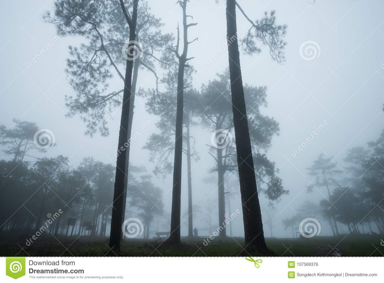 Forest path with pine and mist