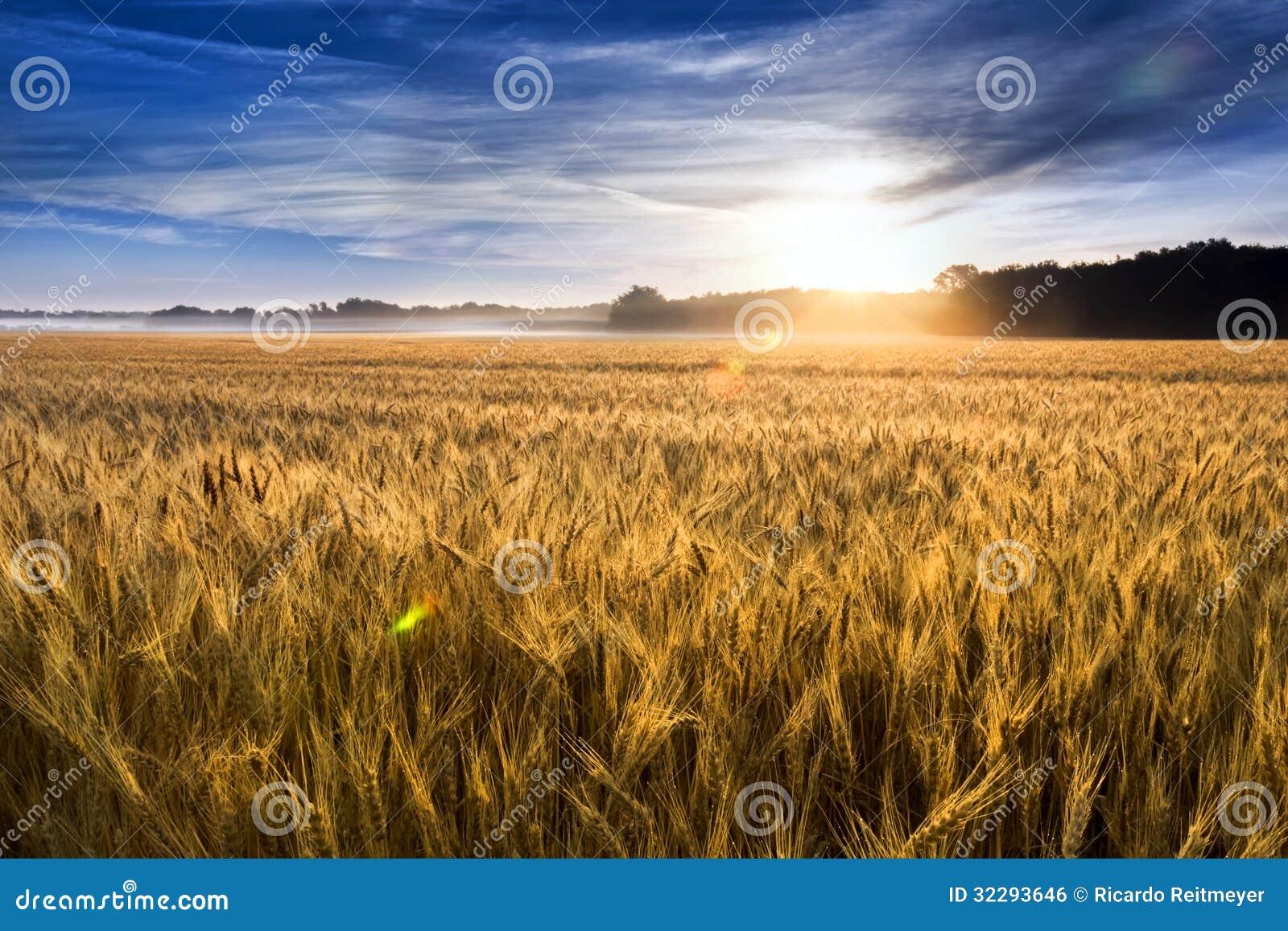Misty Sunrise Over Golden Wheat-Gebied in Centraal Kansas