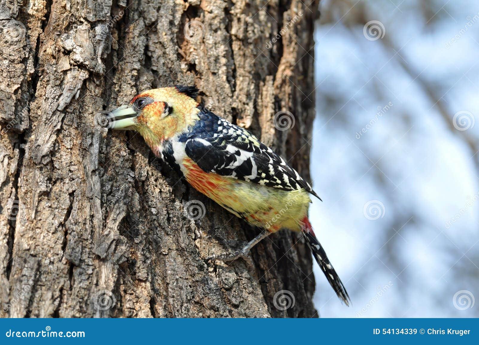 Mit Haube Barbet (Trachyphonus vaillantii)
