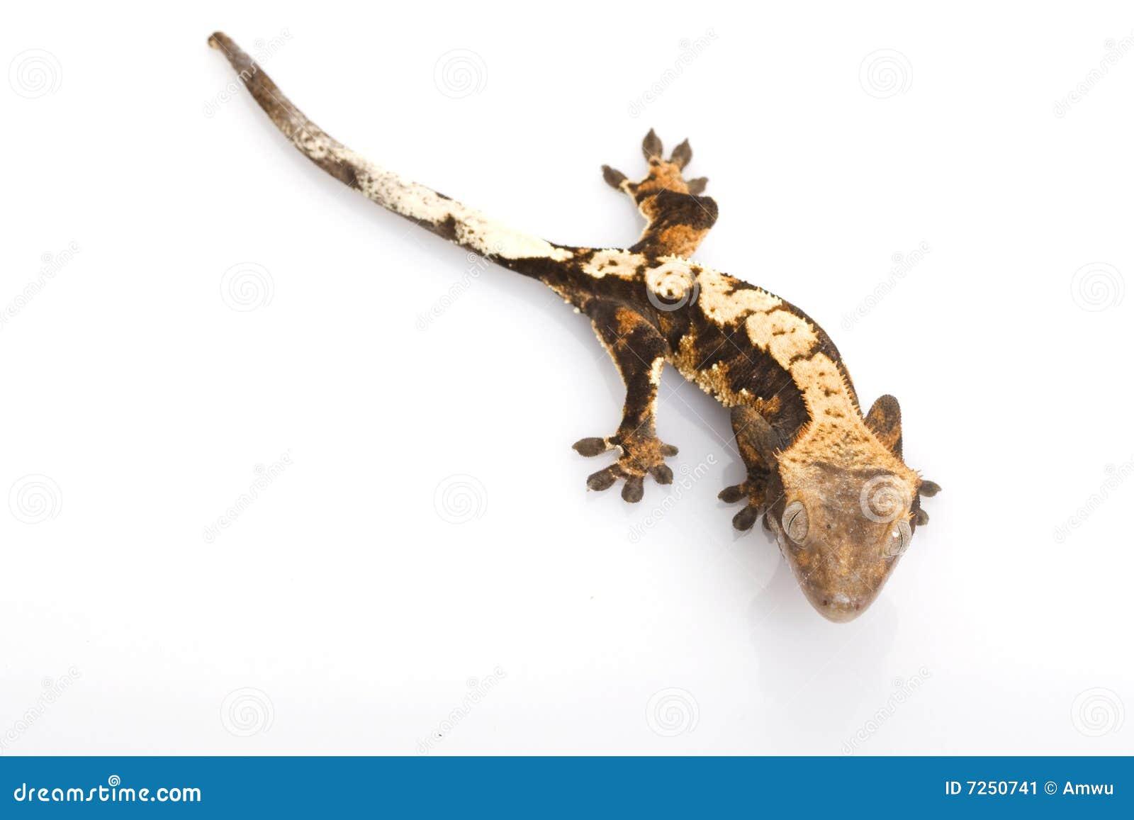 Mit Haube Gecko