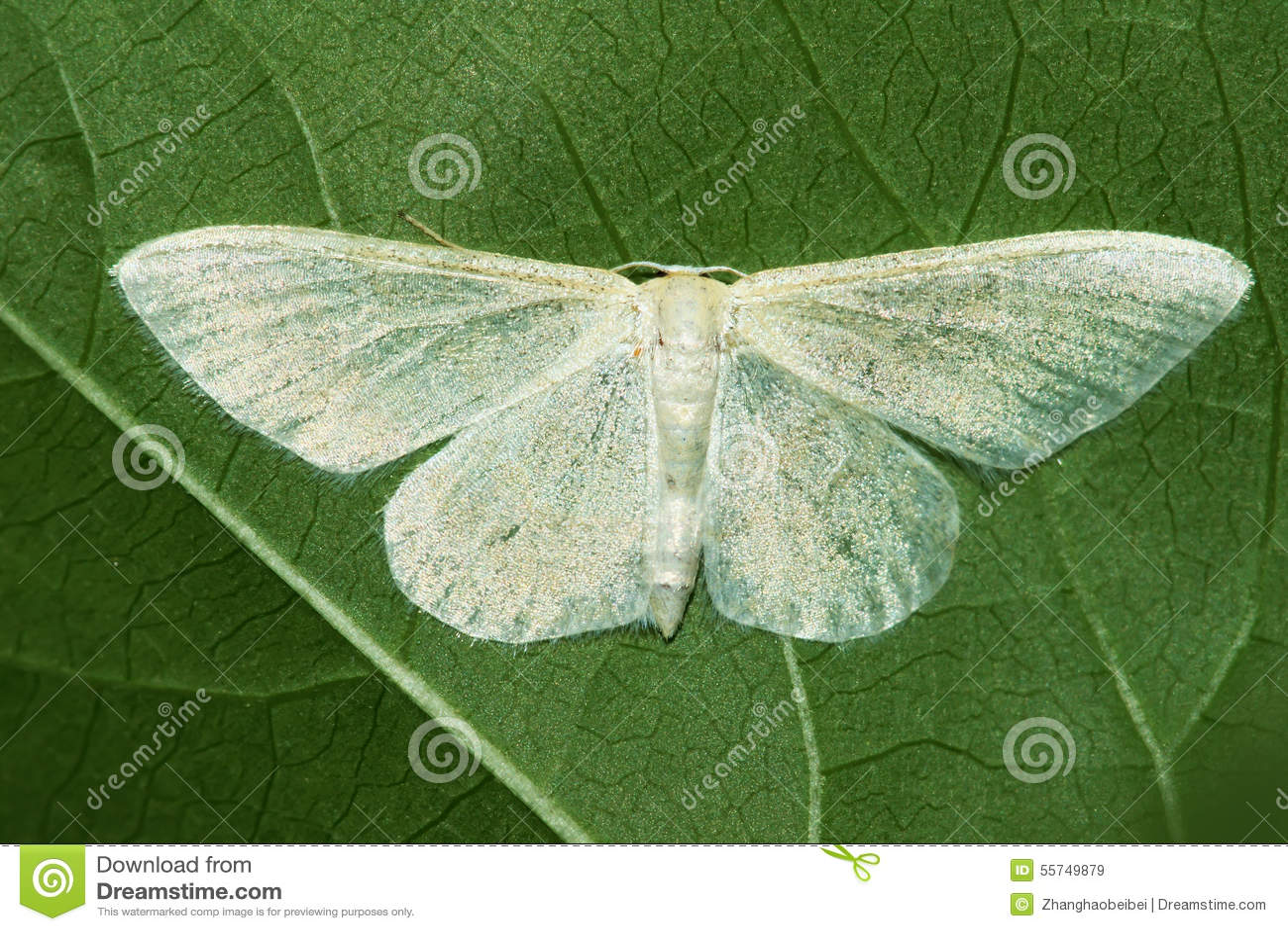 Mite blanche