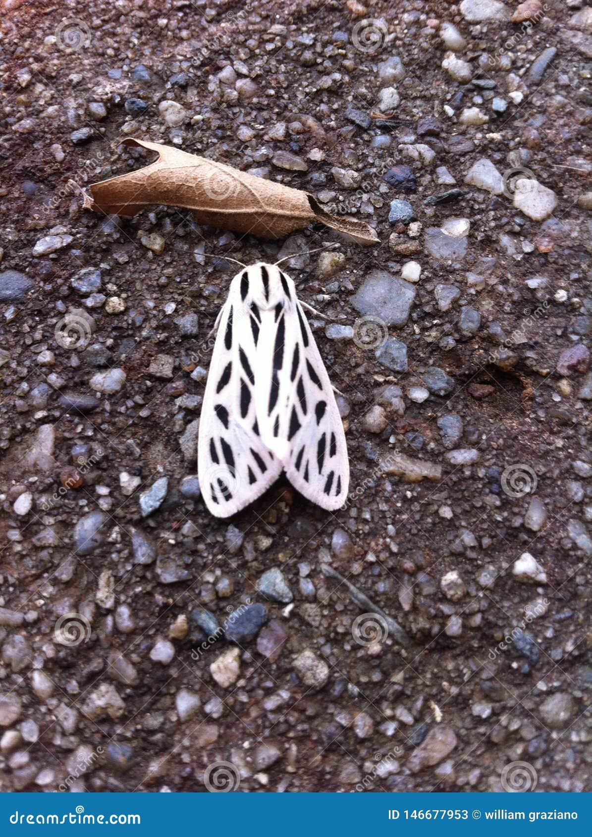 Mite blanche avec des anthracnoses sur la terre à côté d une feuille
