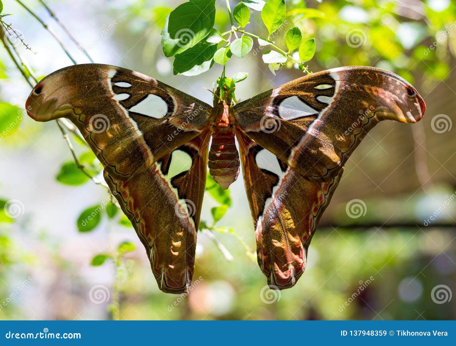 Mite d atlas de papillon