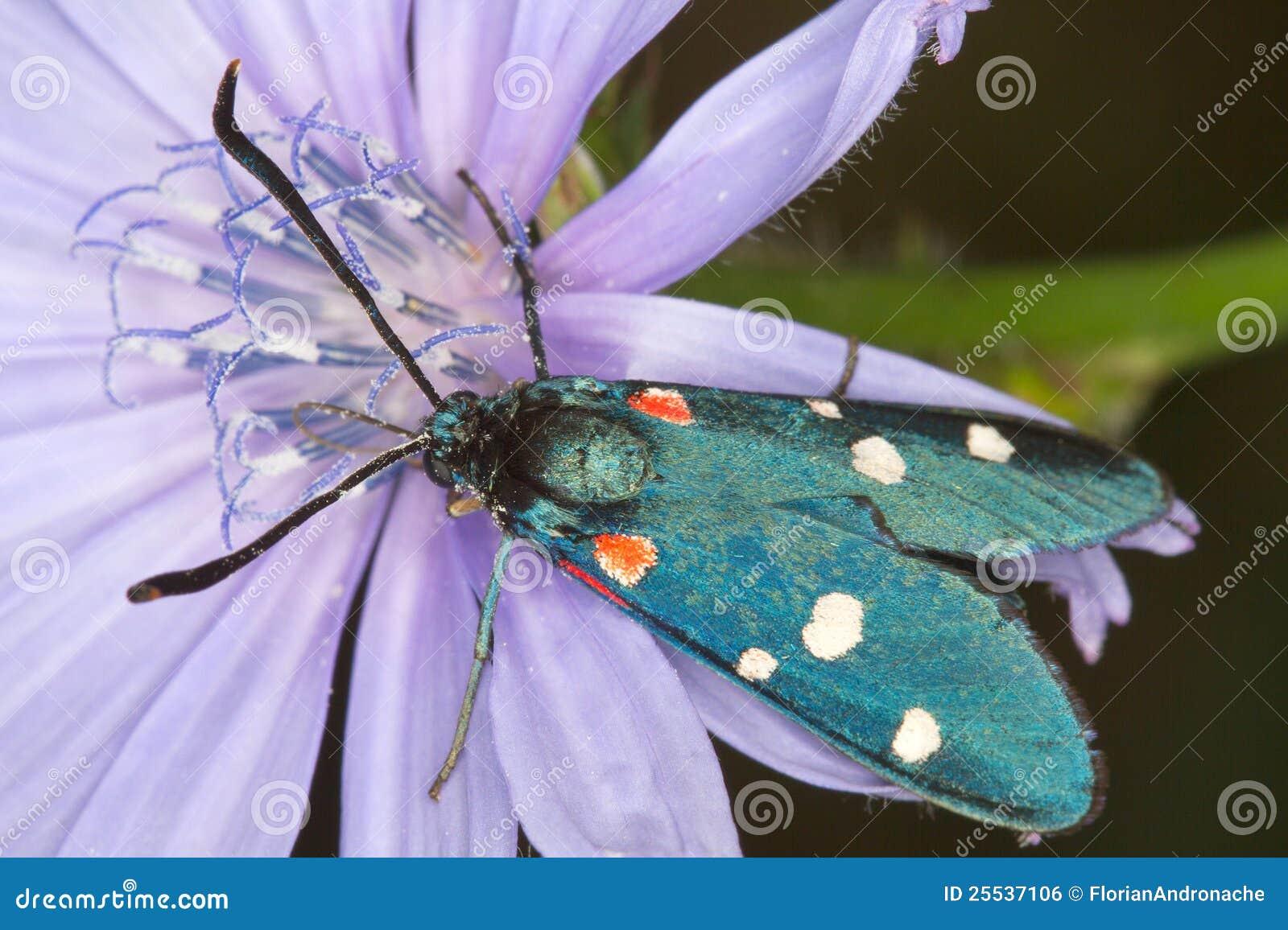 Mite variable de burnet sur un plan rapproché de fleur d endive