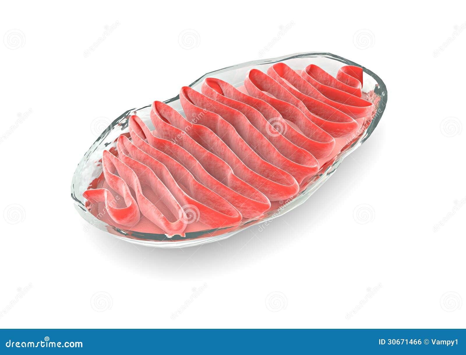 Mitochondries de section, cellule