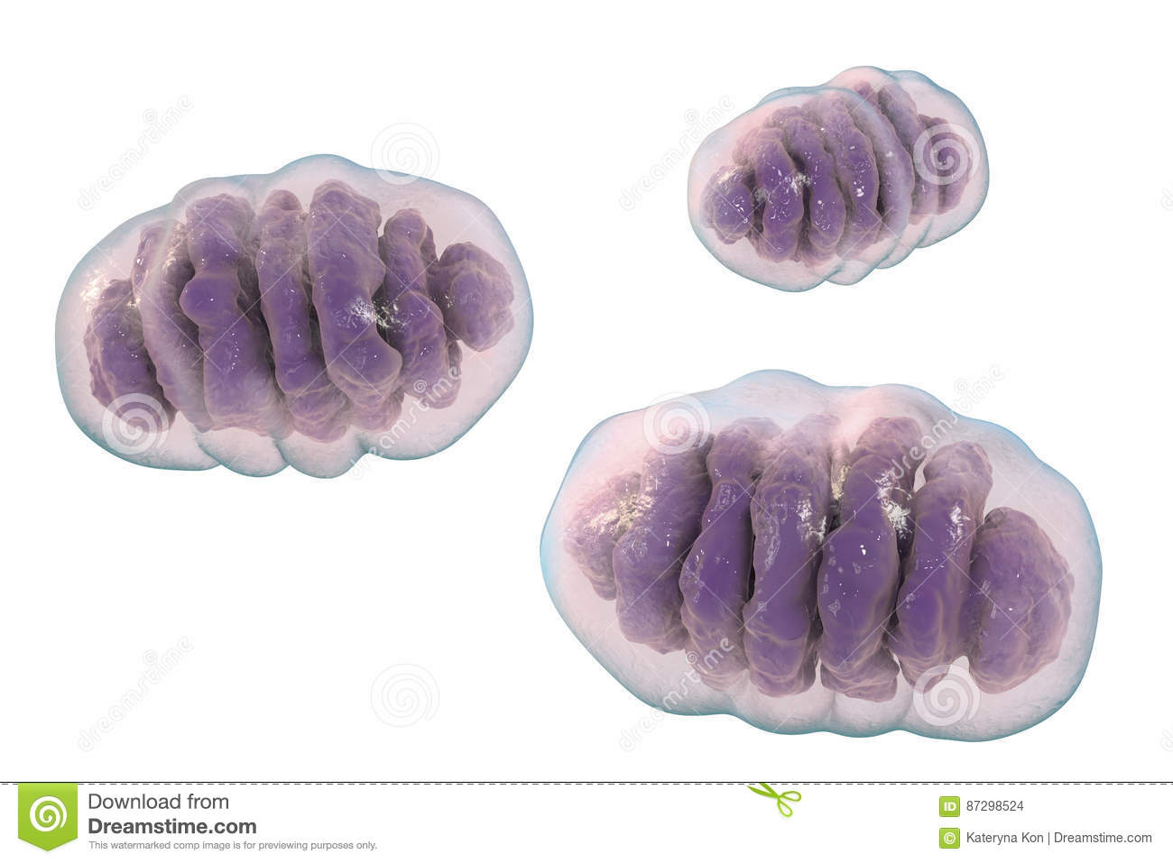 Mitochondrion, cellular ogranelles which produce energy