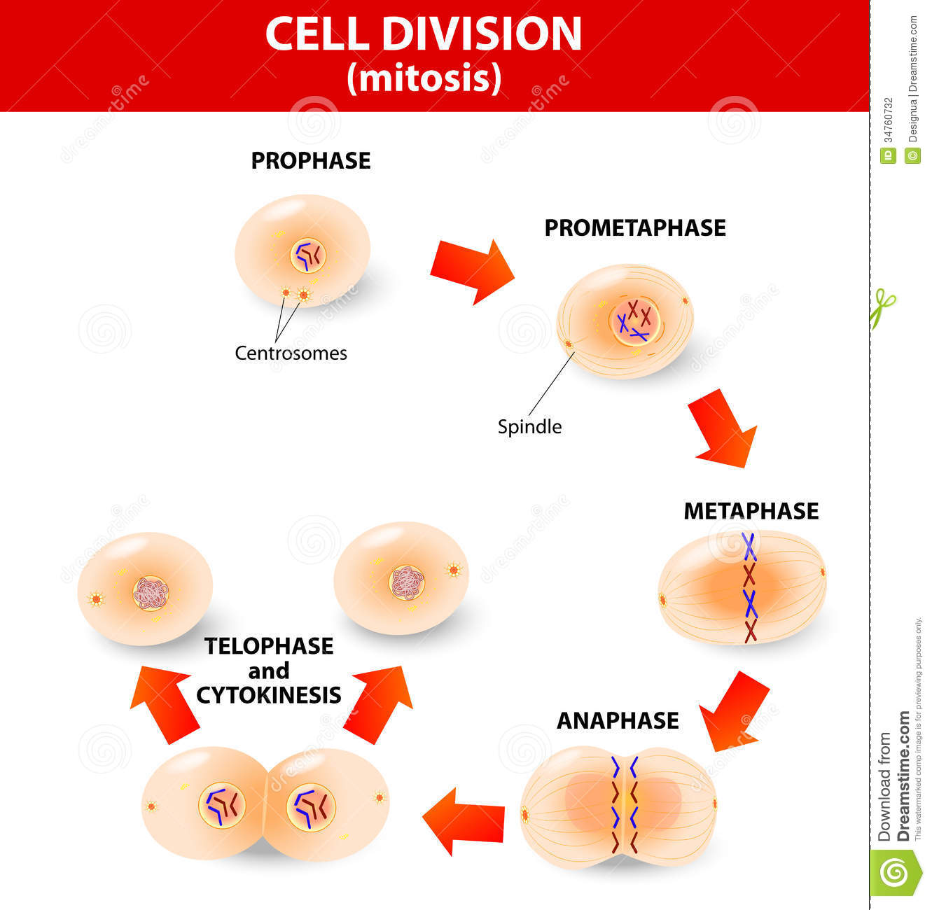 the process of mitosis Mitosis is the process that most cells use in order to replicate themselves it involves replicating the cell's dna, as well as cell organelles, and then splitting into two distinct.