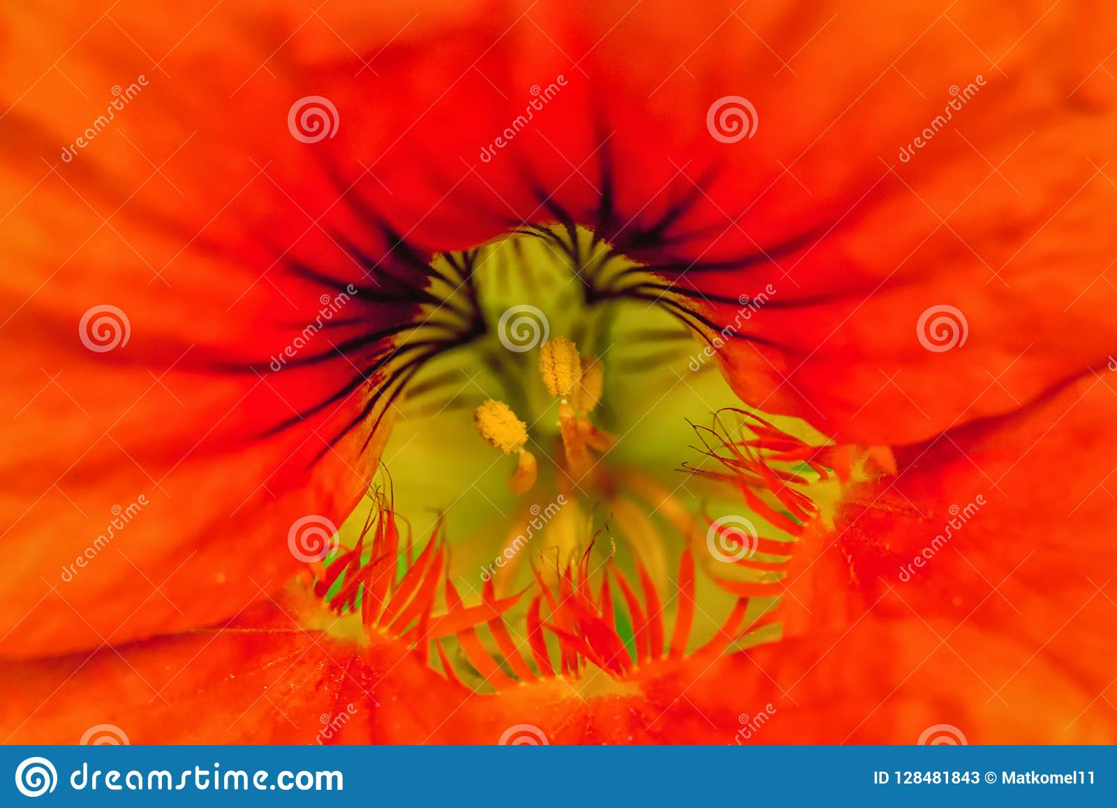 Mitte der Blume und des Stempels und des Staubgefässes