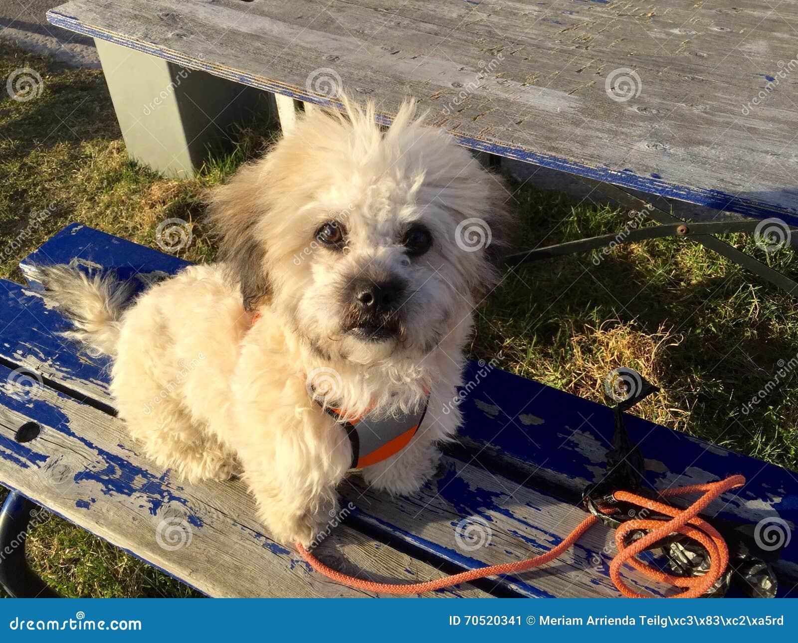 Mix Breed Dog Stock Image Image Of Pekingese Bichon 70520341
