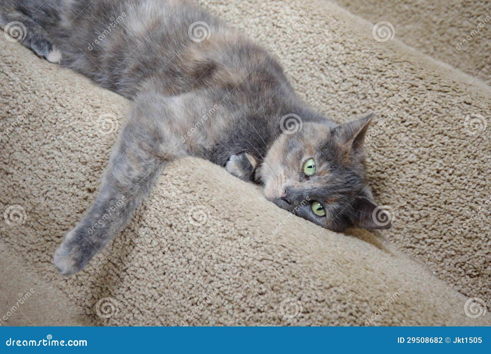 mix british blue pedigree cat stock photography image