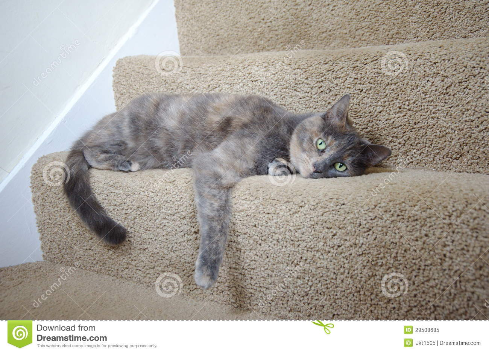 mix british blue pedigree cat royalty free stock photo