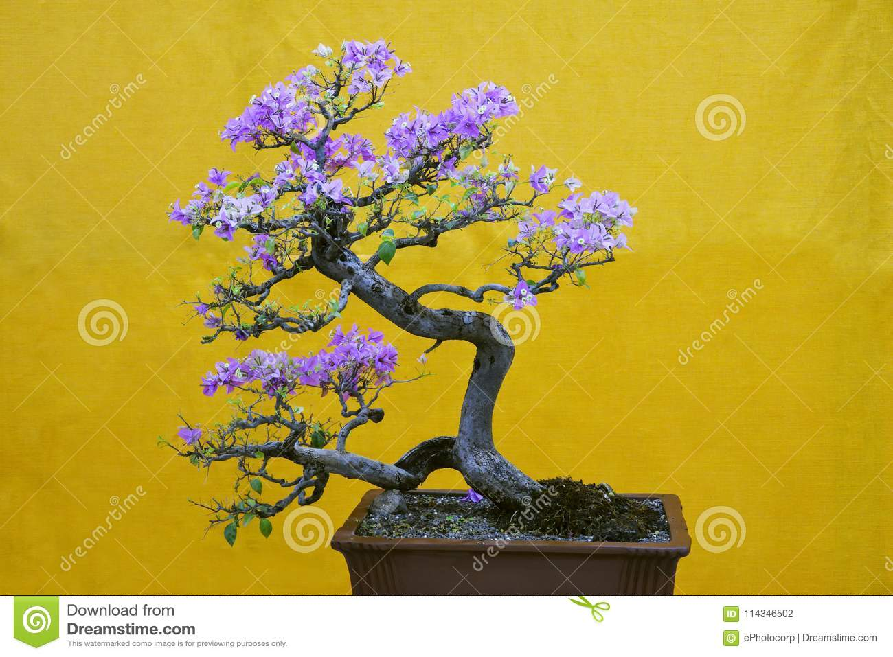 Mix-color Bougainvillea Spectabilis tree, Bonsai Exhibition Pune Shivajinagar, Pune, Maharashtra