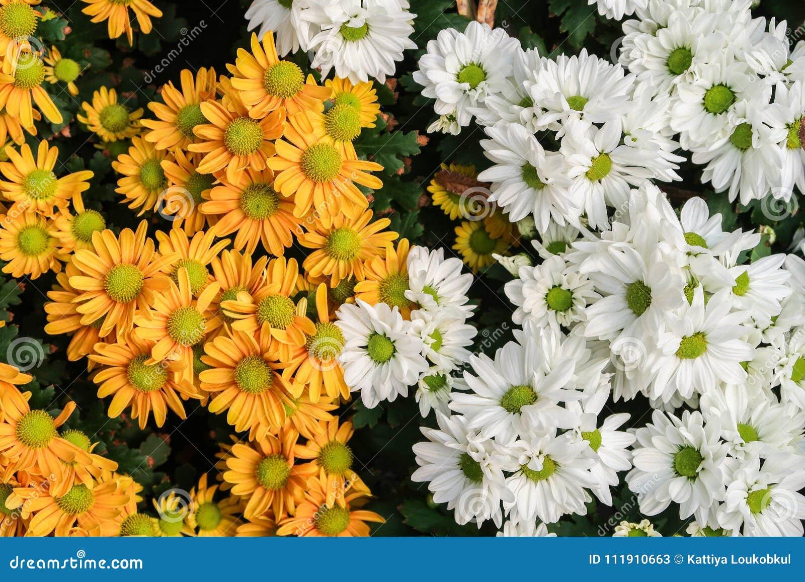 White and yellow chrysanthemum or daisies flowers stock image download comp izmirmasajfo