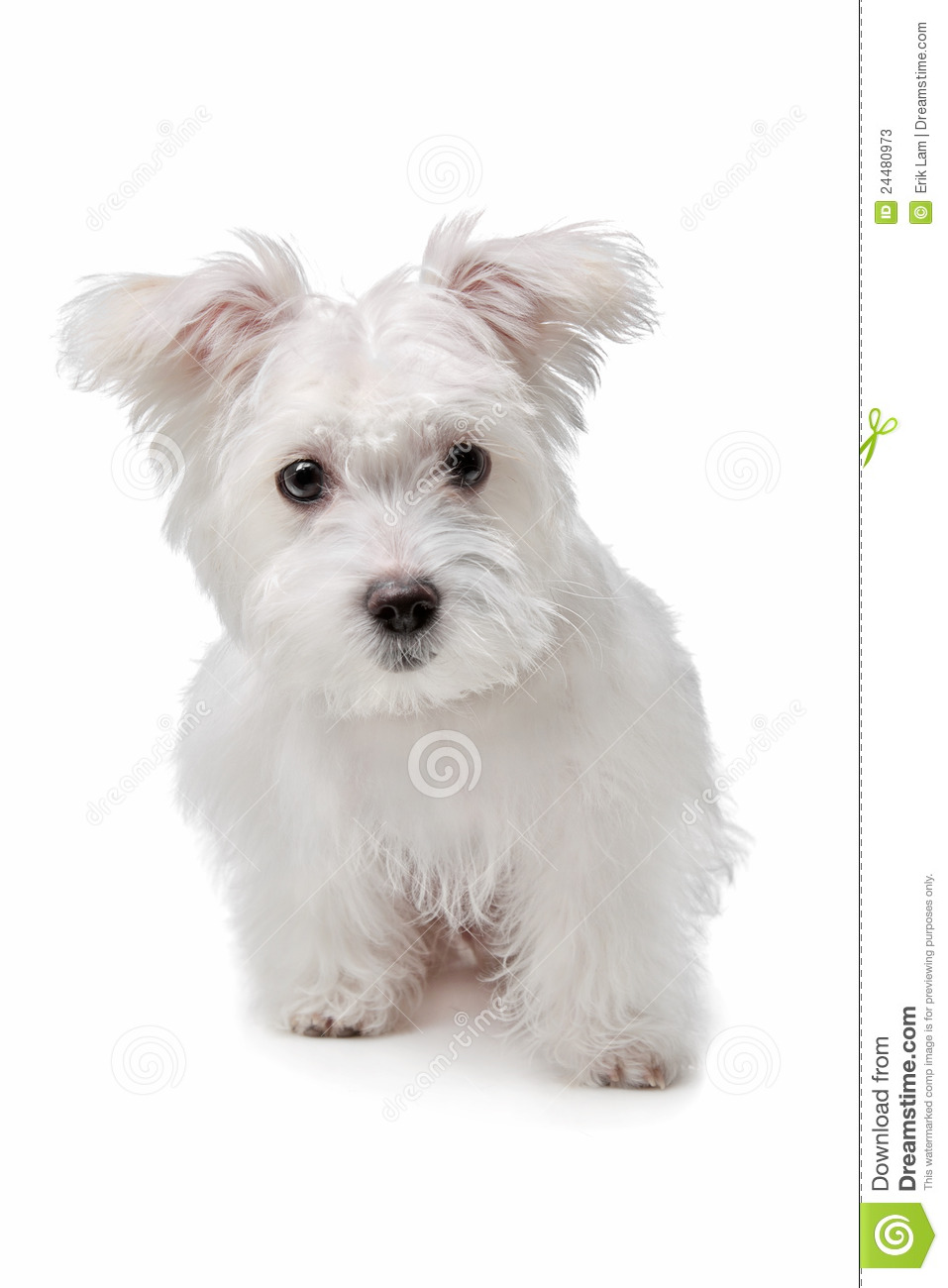 French Bulldog Maltese Mix Mix maltese dog in front of a
