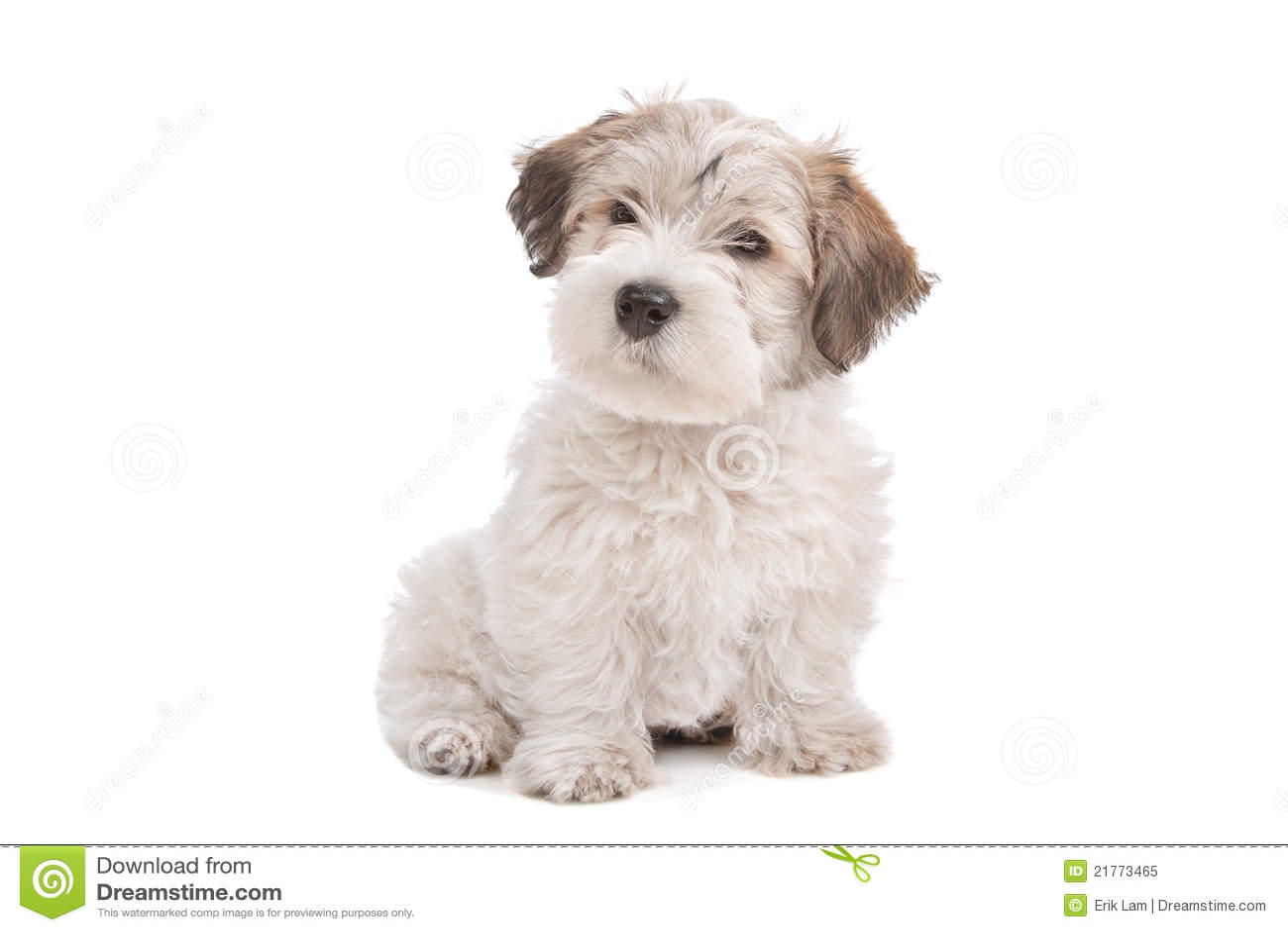 Mix Maltese Puppy Dog Royalty Free Stock Photo - Image ...