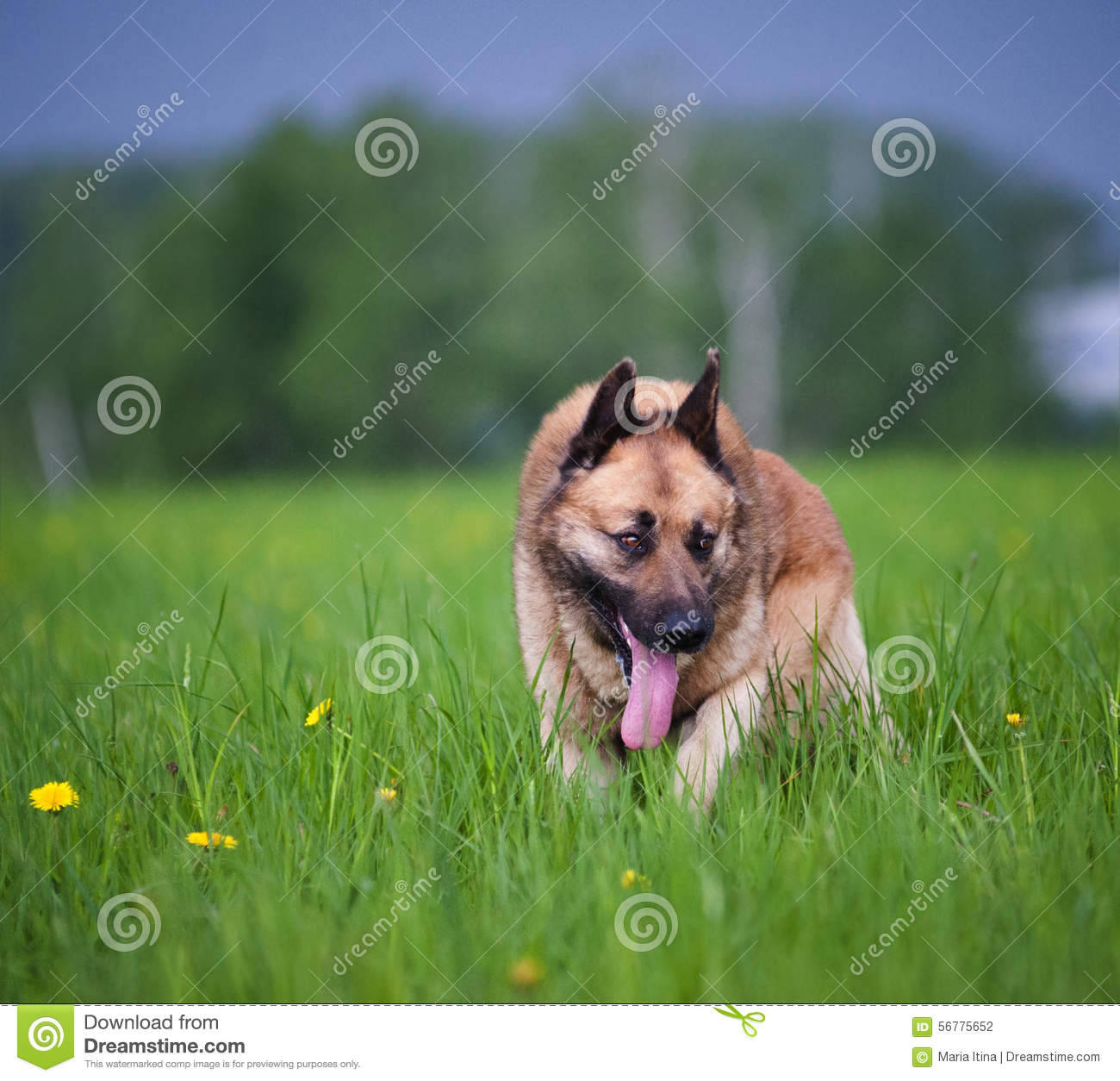 Mixed belgian shepherd dog