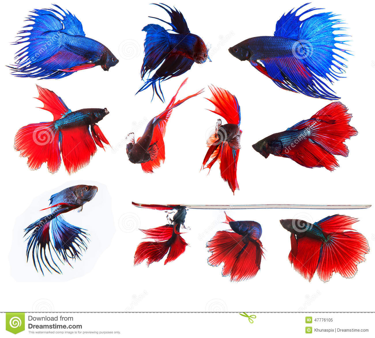 Mixed Of Blue And Red Siamese Fighting Fish Betta Full Body Unde ...