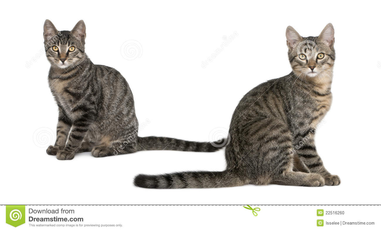 Mixed breed Cats Felis Catus 6 Months Old Stock Image