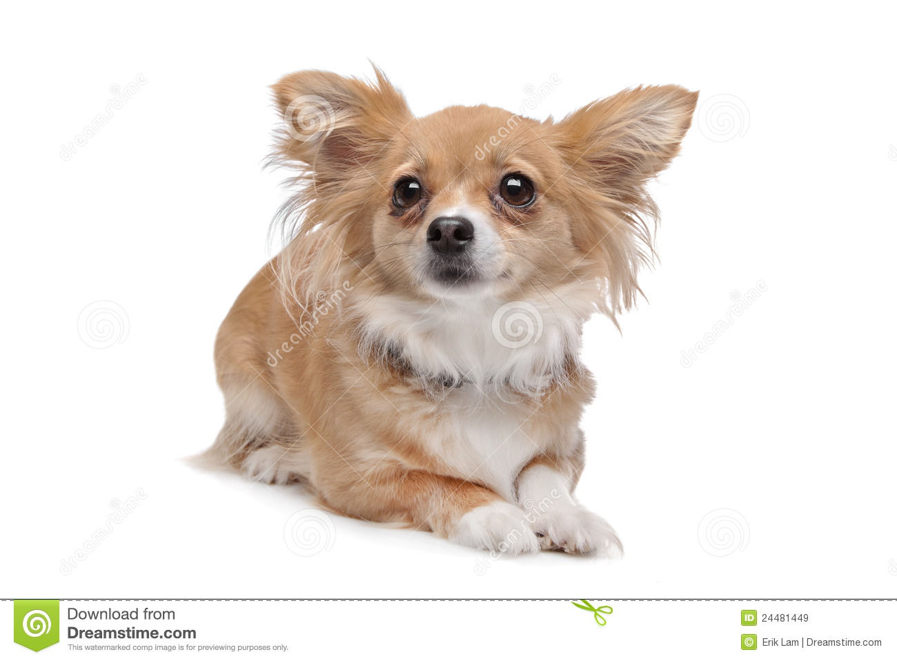 Mixed Breed Chihuahua Stock Image Image Of Chihuahua 24481449
