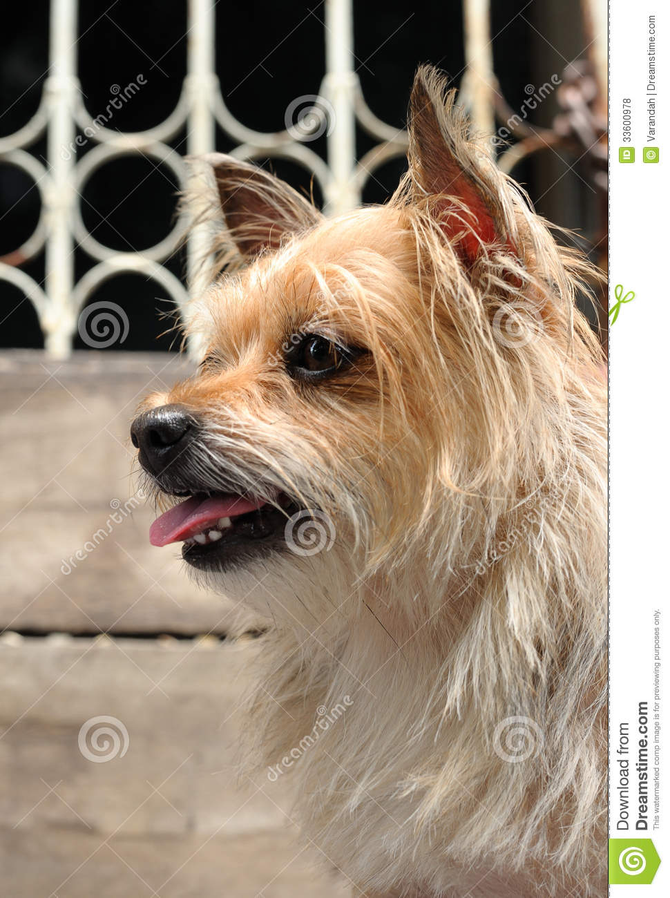 Mixed Breed Cute Yorkshire Terrier Dog Royalty Free Stock ...