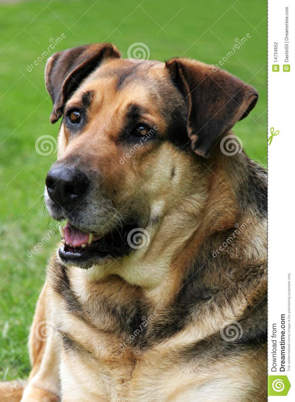 Portrait of mixed breed German Shepherd and mastiff with green ...