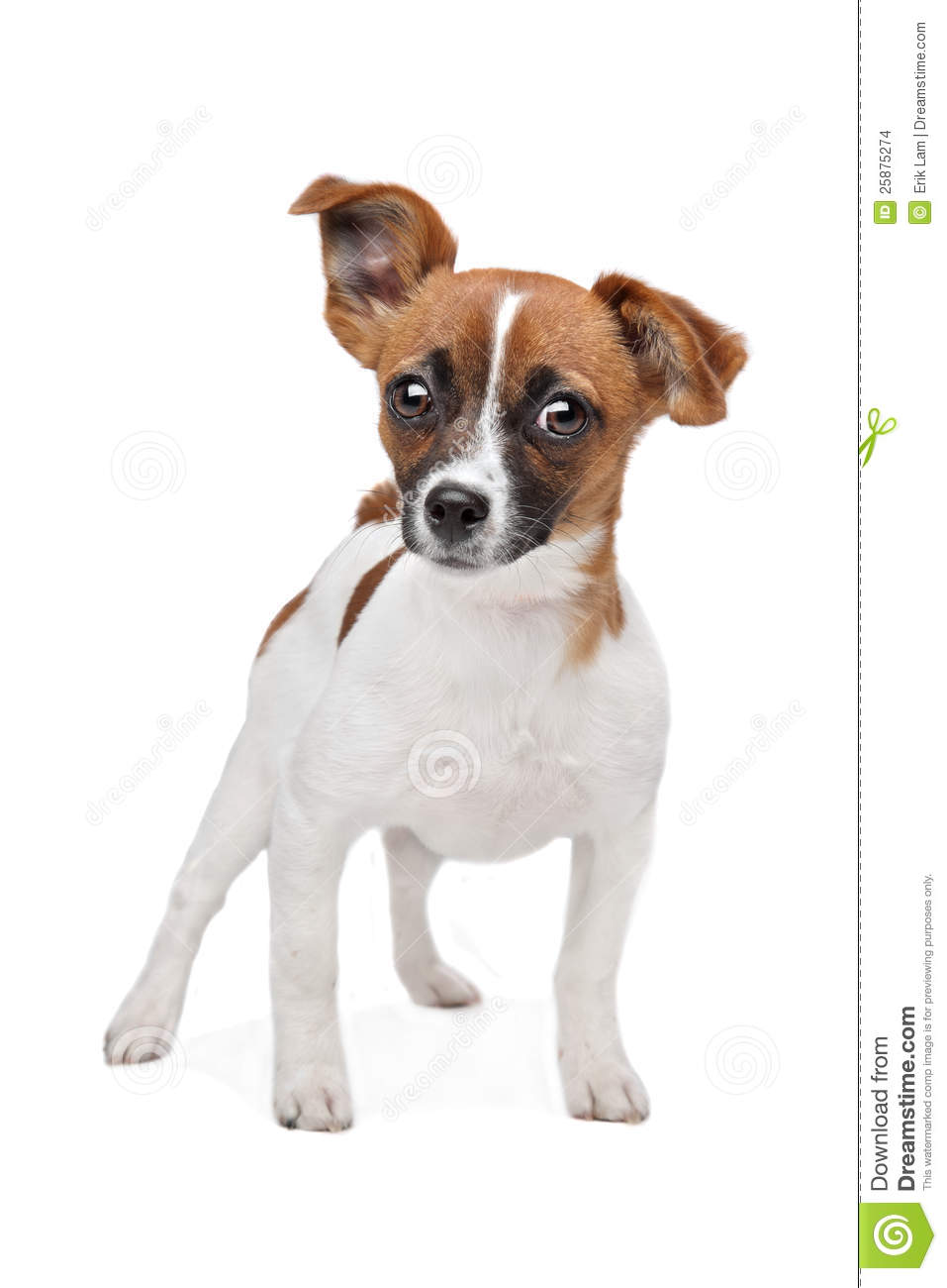 jack russell terrier mixed breeds - photo #47