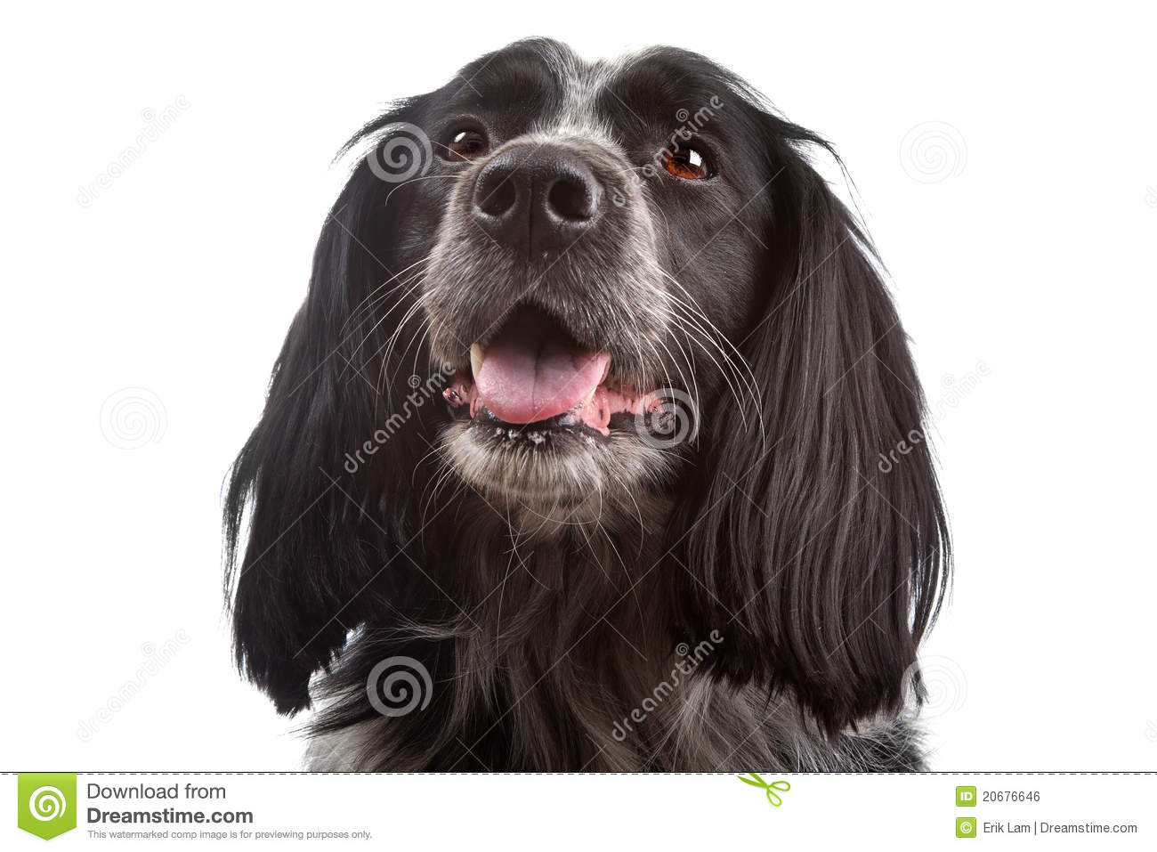 cocker spaniel collie mix mixed breed dog border collie cocker spaniel stock photo 3227