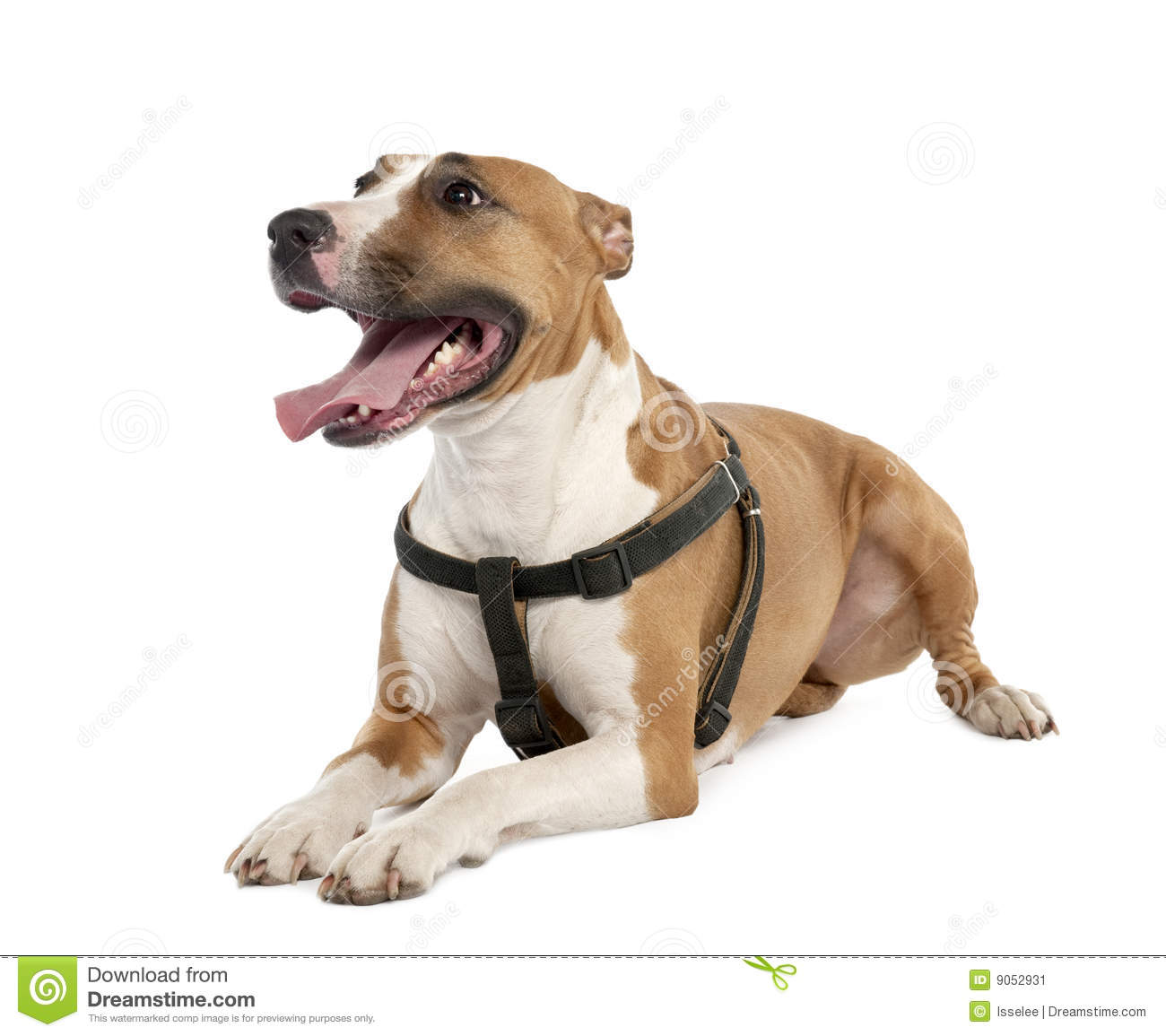 Mixed-Breed Dog Between A Bull Terrier And A Boxer Stock ...