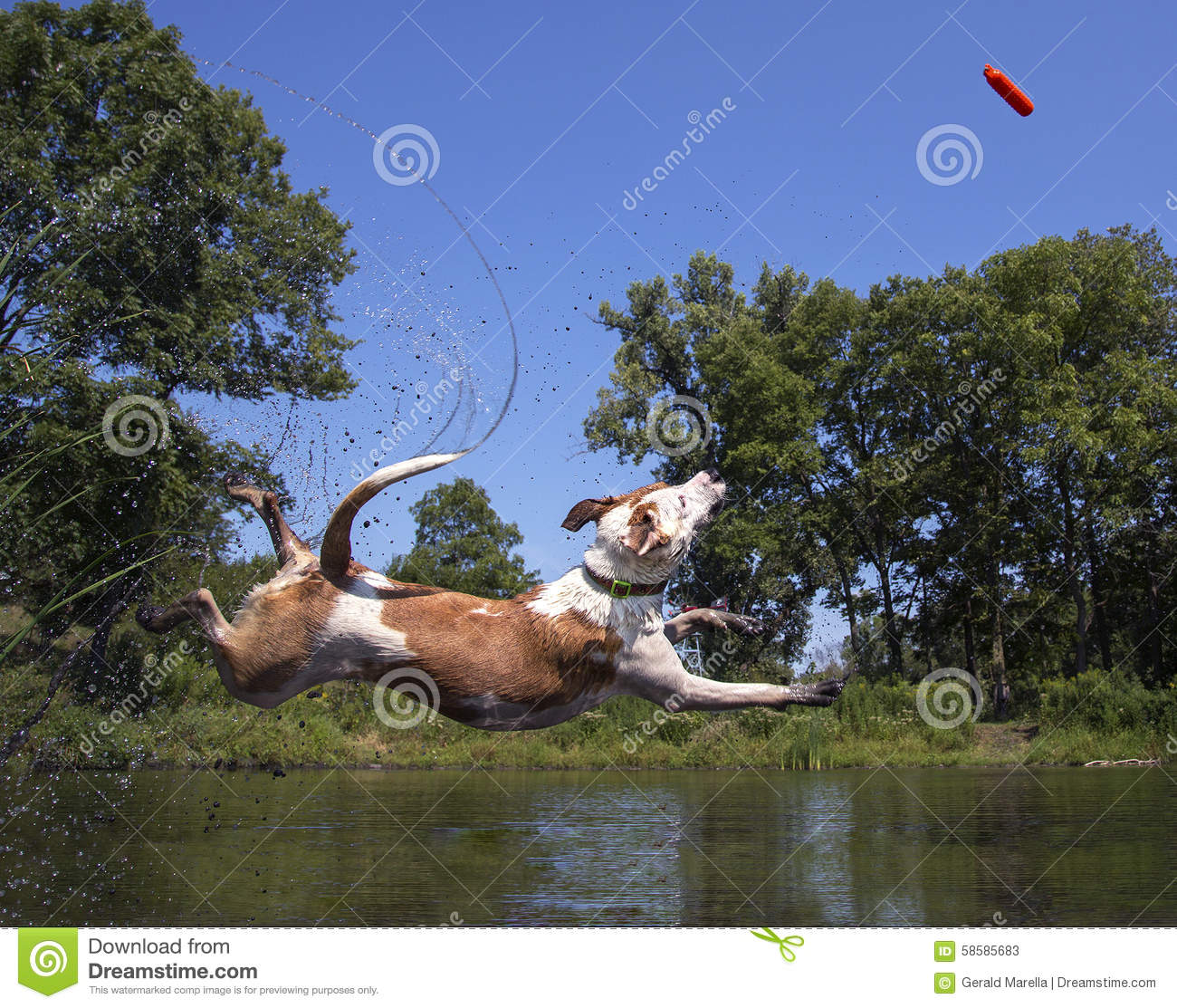 Mixed breed dog diving into a pond