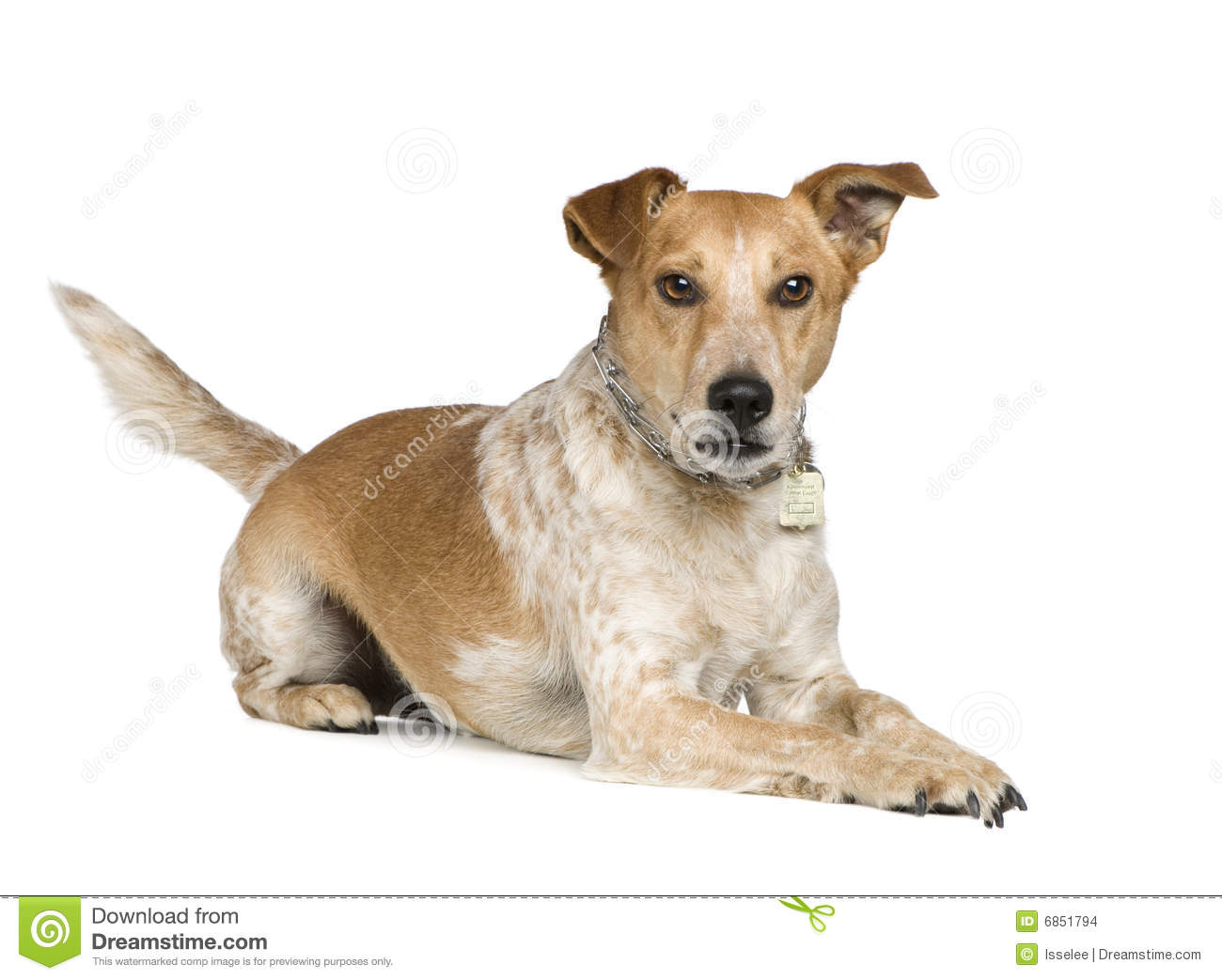 jack russell terrier mixed breeds - photo #5