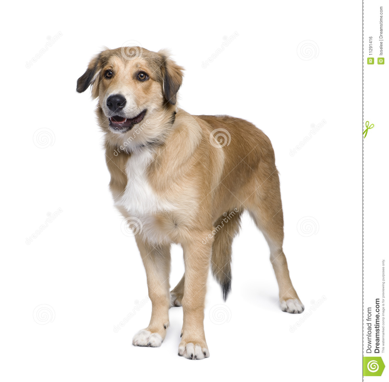 Mixed-breed Dog In Front Of White Background Stock Photo ...