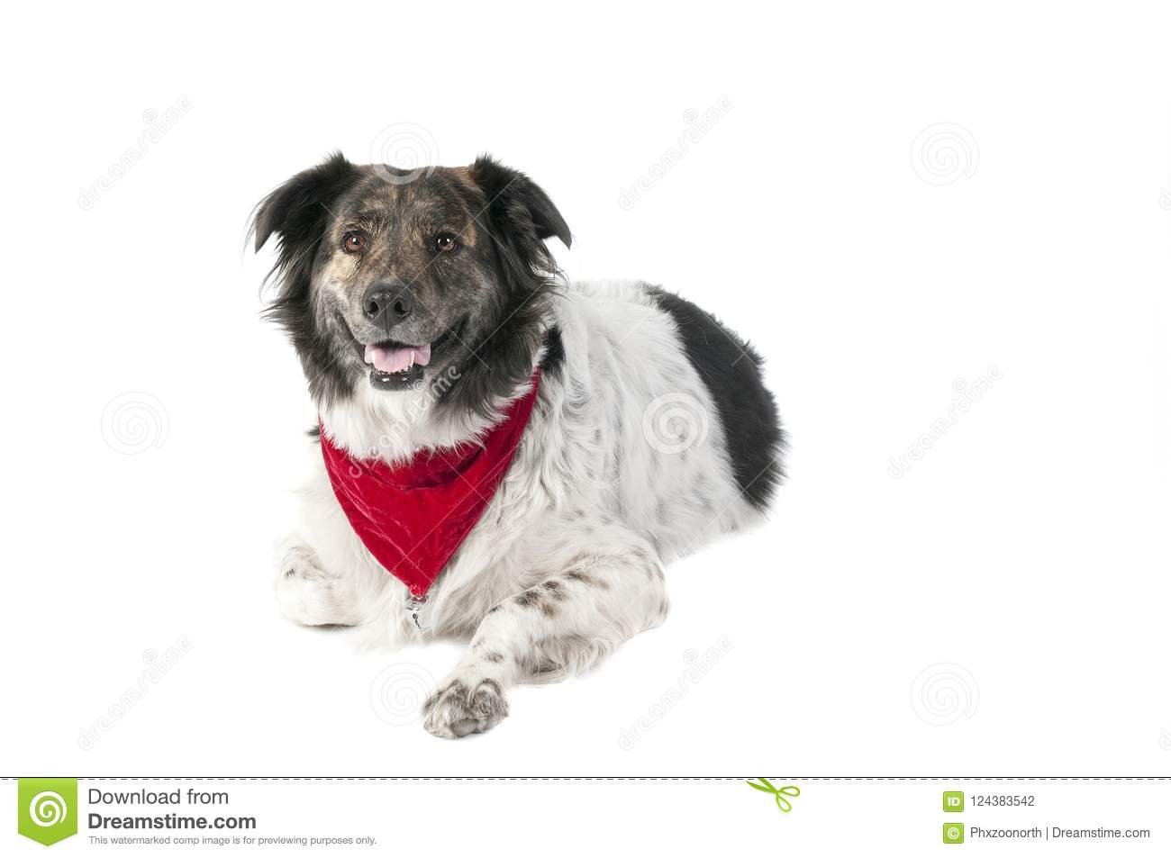 Mixed Breed Dog In Holiday Christmas Attire Laying Down Isolated ...