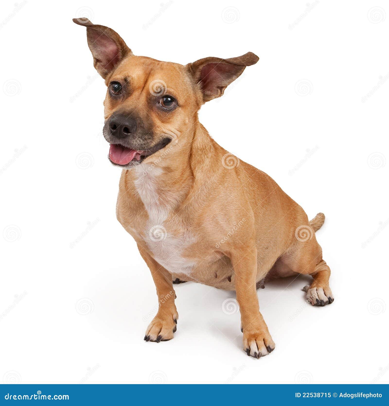 White Dog Perky Ears