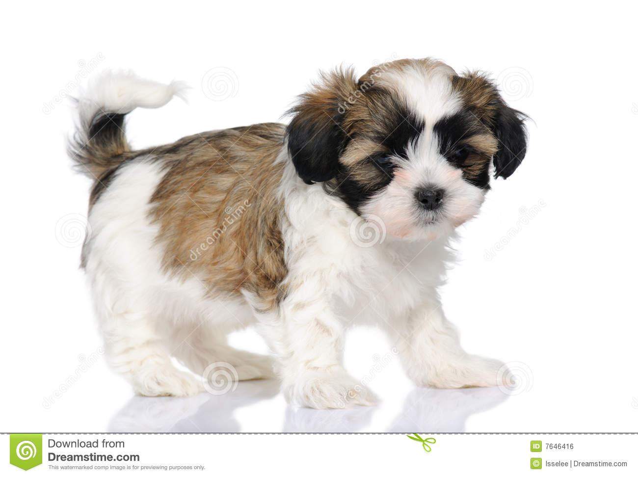 Mixed-Breed Dog Between Shih Tzu And Maltese Dog Royalty Free Stock ...