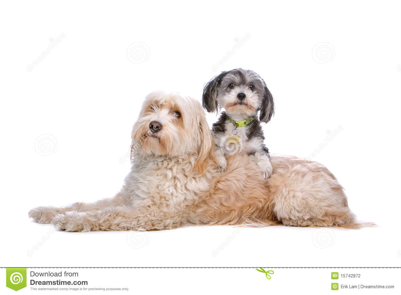 Mixed breed dog up on a Tibetan terrier