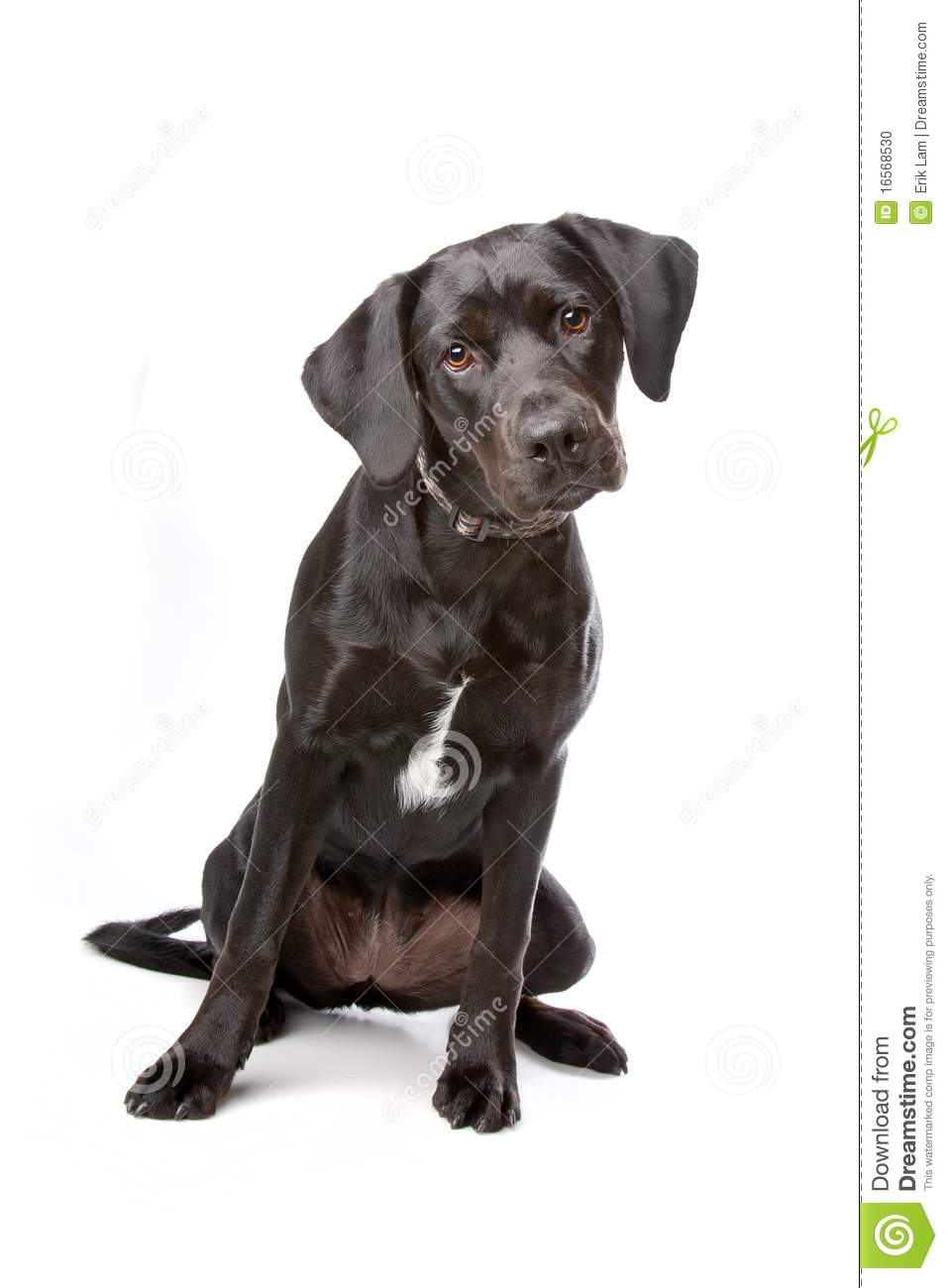 mixed breed labrador retriever puppy stock photo