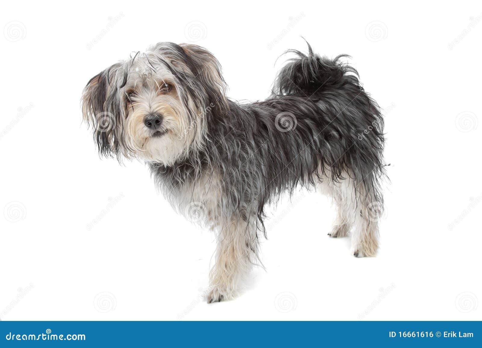 Yorkshire Terrier Mix dogyorkshire terrier