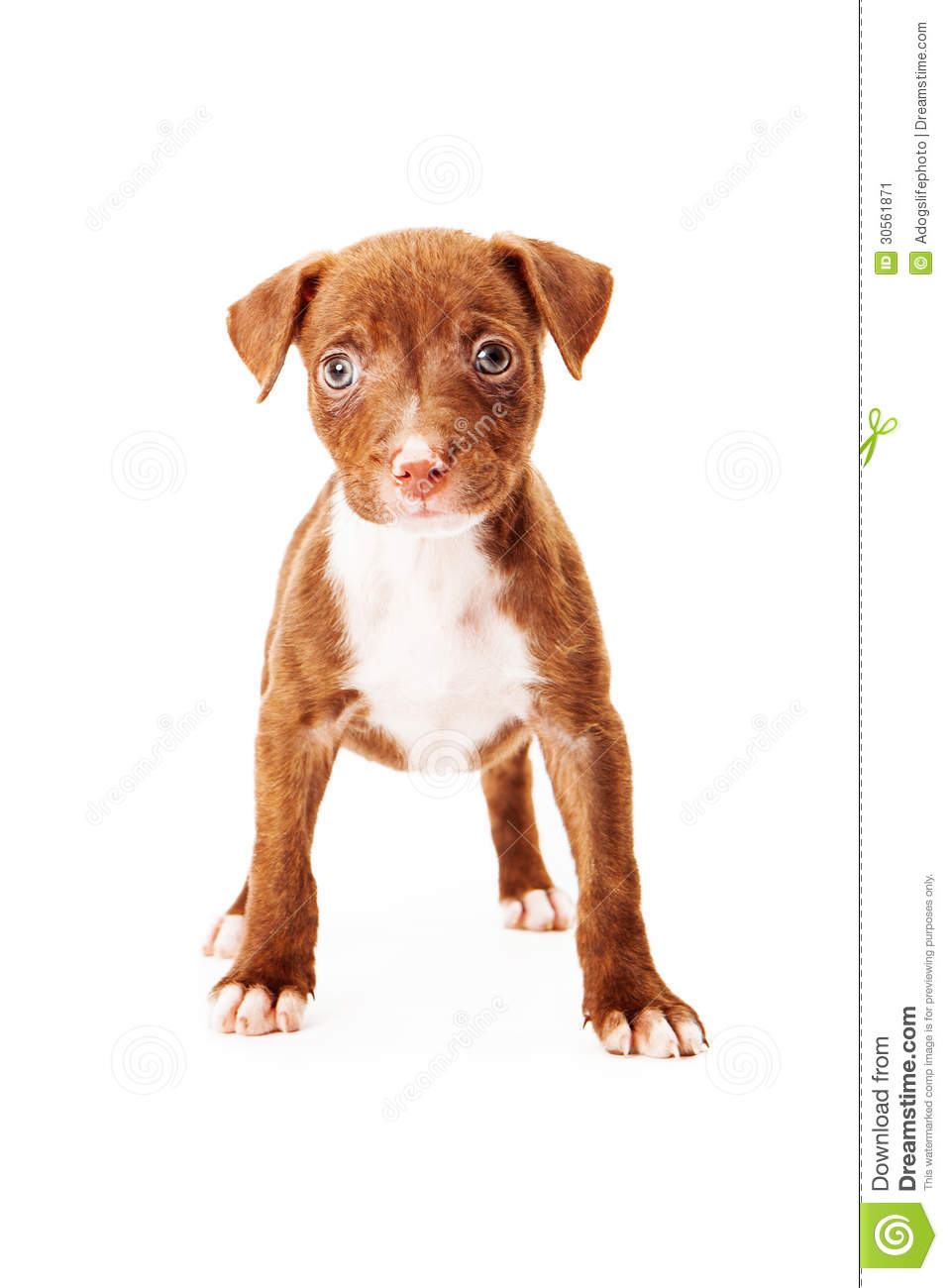 Mixed Breed Puppy Stock Image - Image: 30561871