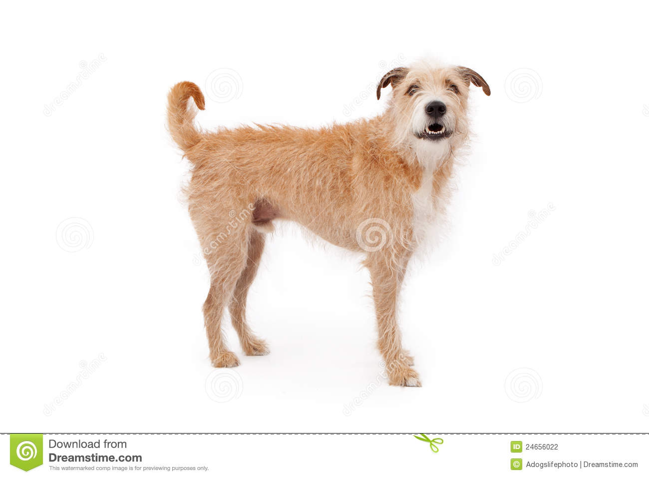large mixed breed dog with wire hair standing against a white