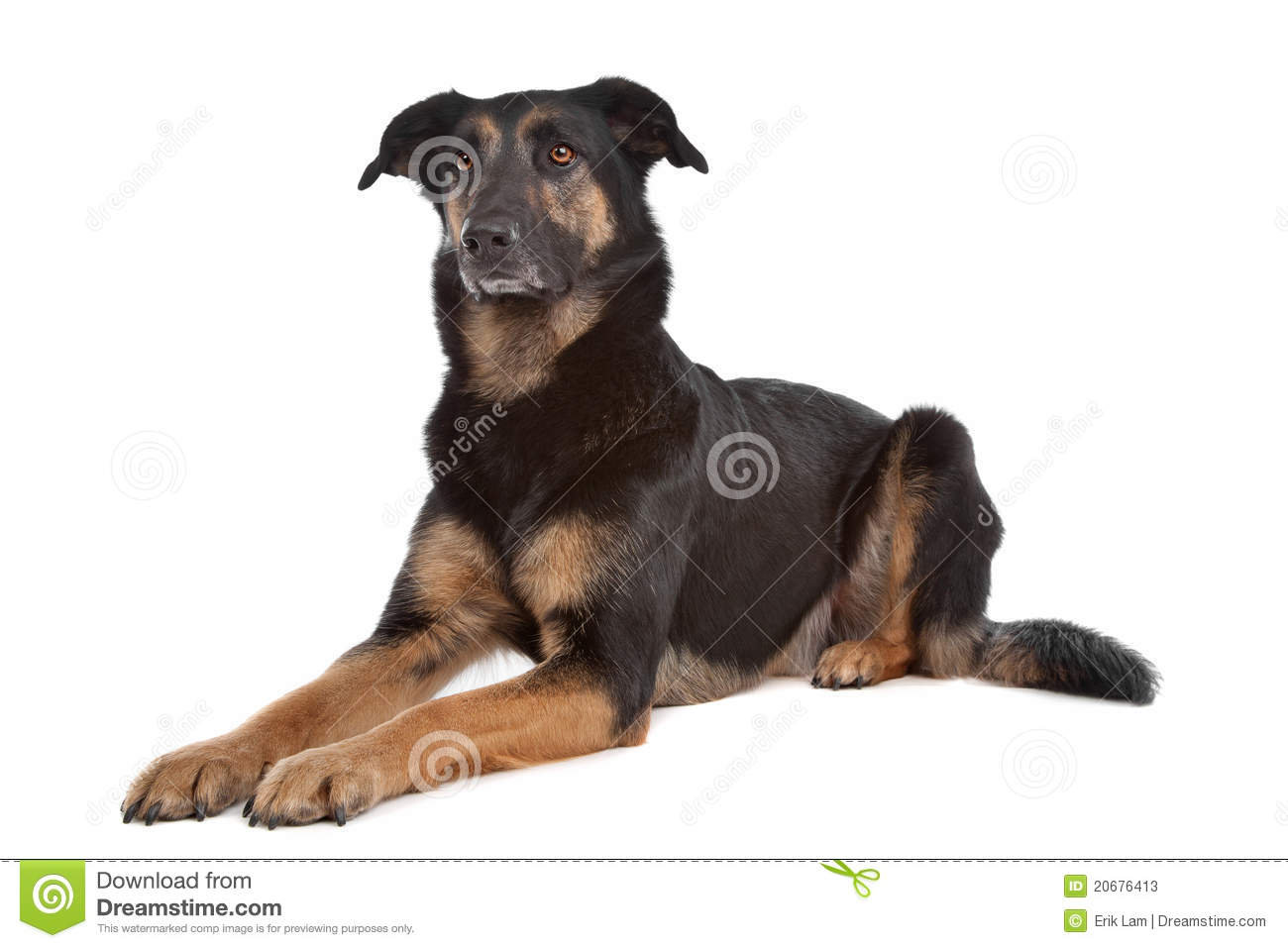 Mixed breed shepherd dog in front of a white background.