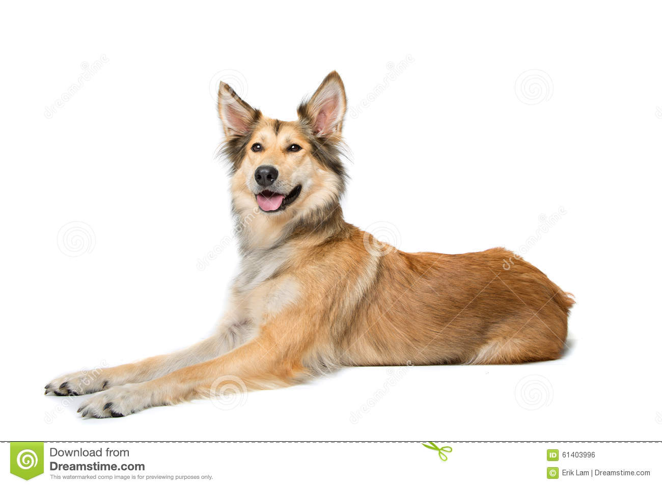 Mixed breed shepherd dog lying in front of a white background.