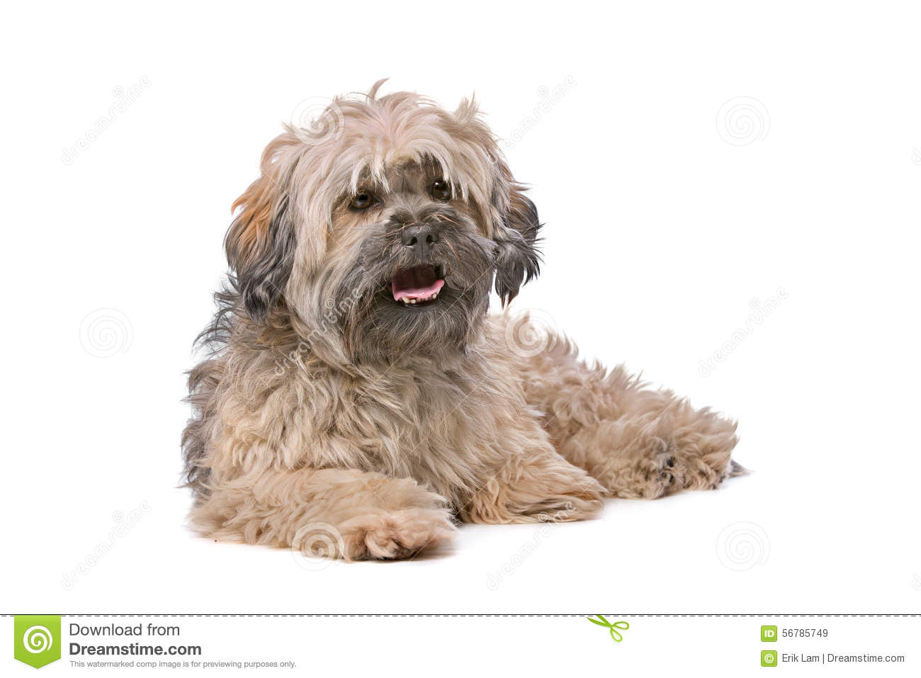 Mixed breed small fluffy dog stock photo image 56785749 for Fluffy little dog breeds