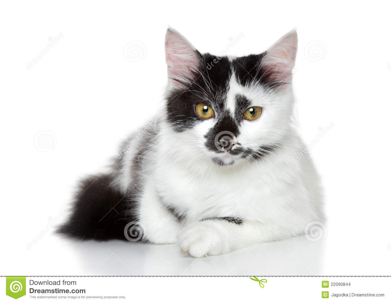 Mixed breed Spotted Black And White Cat Stock Image