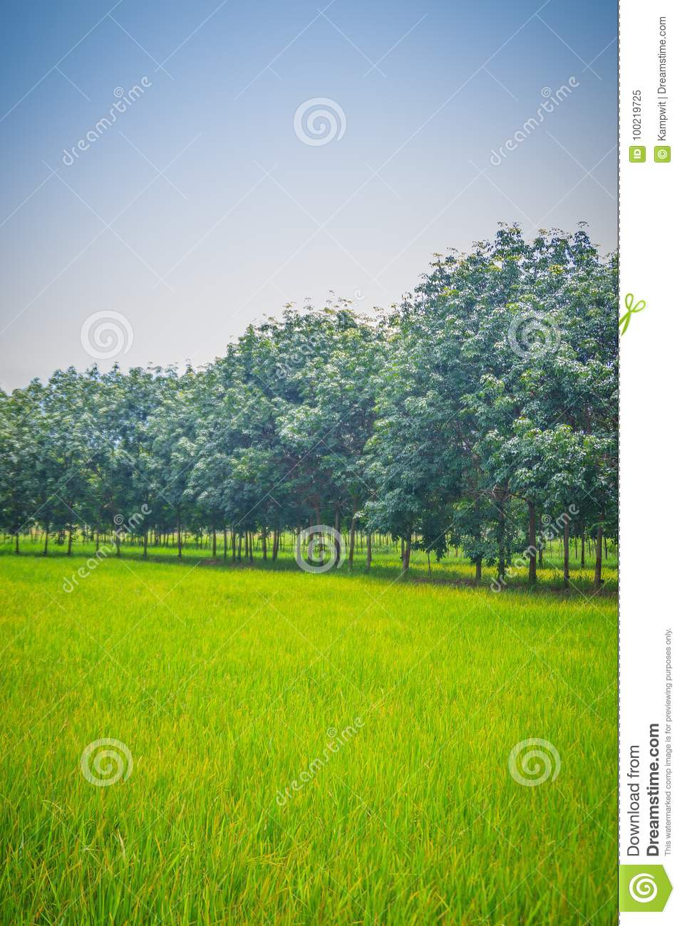 Mixed Farming By Planting Rubber Trees In Rice Fields Is
