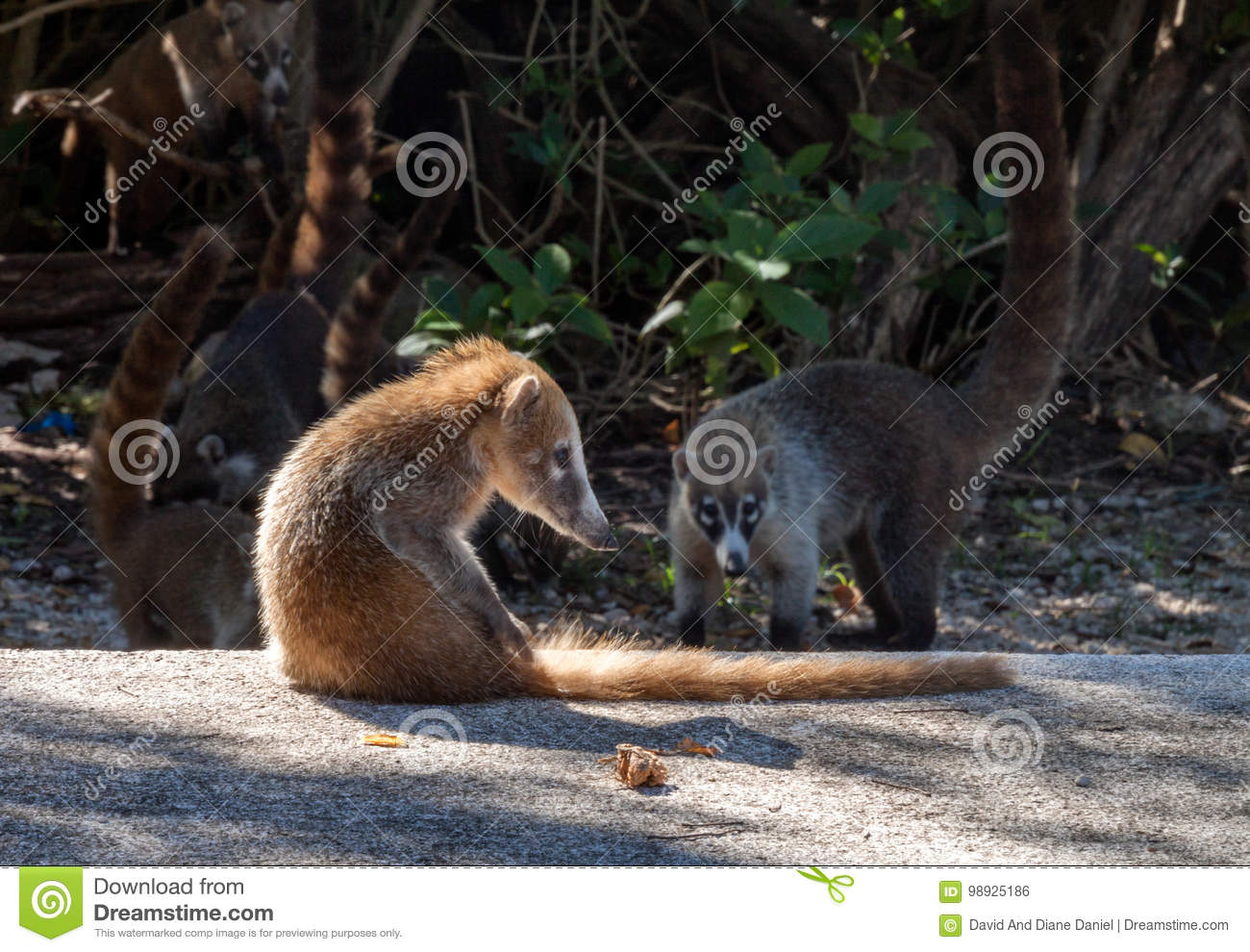 Coatimundi in the Tropics